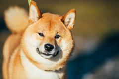 Close Up Beautiful Red Shiba Inu Puppy Dog Staying Outdoor Stock Photos