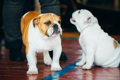 Close Up Young Brown And White English Bulldog Dog Stock Photos