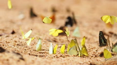 Butterflies are eat mineral on the ground, Select focus. Stock Footage