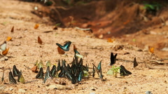 Butterflies are eat mineral on the ground, Camera Panning. Stock Footage