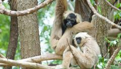 Two White Cheeked Gibbons on tree branch. Stock Footage