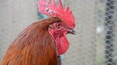 Rooster at the traditional rural farm Stock Footage
