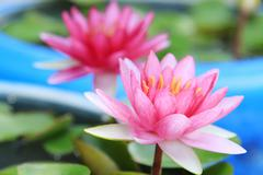 Red water-lily Stock Photos