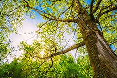 Spring Sun Shining Through Canopy Of Tall Oak Trees. Upper Branc - stock photo