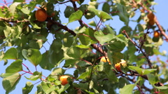 Tree, golden apricot, ripe fruits, branch, homegrown, organic, orchard - stock footage