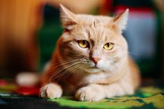 Peaceful Red Cat Male Kitten Lays On Carpet On Floor At Home - stock photo