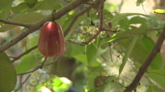 Rose Apple on a tree at The Mekong Delta, Vietnam Stock Footage