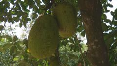 Jack fruit on a tree at The Mekong Delta, Vietnam Stock Footage