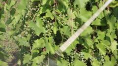 Spraying vineyard, fertilizer, green grapes, sprayer, viticulture, close up Stock Footage
