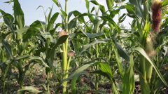 Corn field, mature green plants, maize, sweet corn cob, agriculture - stock footage
