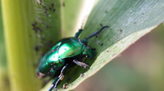 Bug, scarab on green leaf, Cetonia aurata, beetle, pests, macro Stock Footage