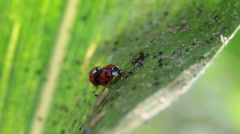 Stock Video Footage of Two ladybugs in love, ladybird, copulate, grass, garden, mate, cute insects