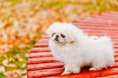 White Pekingese Pekinese Peke Whelp Puppy Dog Sitting On Wooden - stock photo