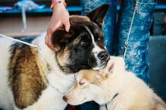 Young Husky Puppy Eskimo Dog And American Akita Sitting Together Stock Photos