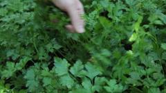 Gardener, hands, vegetable garden, parsley, aromatic herbs, plant Stock Footage