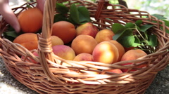 Farm putting ripe fruits in a basket, farmer, harvest, crop, apricots Stock Footage
