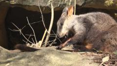 wallaby cleaning fur - stock footage