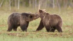 Two young brown bears start quarrel in swamp Stock Footage
