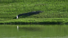 Alligator on bank in Florida neightborhood, 4K Stock Footage