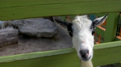 Goats sticking their heads through petting zoo fence, 4K Stock Footage