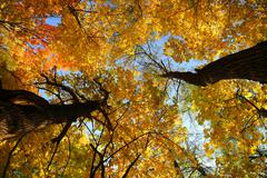 autumn leaves on trees under sky - stock photo