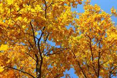 Autumn leaves on oak tree Kuvituskuvat
