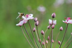 Honey bee on Grass rush - stock photo