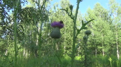 Thistles and a bumblebee Stock Footage