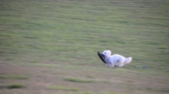 Tracking shot of cute terrier dog running across feild with flip flop Stock Footage