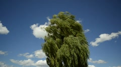 Babylon willow, Salix babylonica, in strong wind Stock Footage
