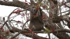 Chacma Baboon sitting in a tree and eating red fruits Stock Footage