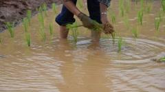 Stock Video Footage of Farmer rice seedling.