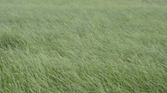 Grass in strong wind Stock Footage