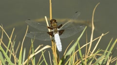 Broad-bodied chaser on a leaf Stock Footage