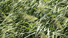 Reed in strong wind Stock Footage