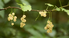 White currant berries Stock Footage