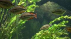 australian rainbowfish - stock footage