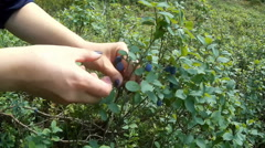Harvest of  Bilberry in the wood. Stock Footage
