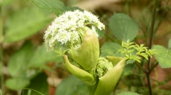 Wild angelica Stock Footage