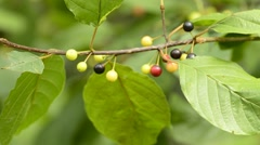Alder buckthorn, Rhamnus frangual, medicinal tree with berries Stock Footage