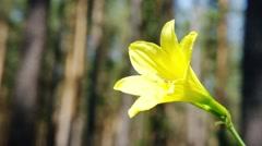 Beautiful yellow lily forest. Siberia. Khakassia. Stock Footage
