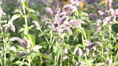 Stock Video Footage of Plant of Mint