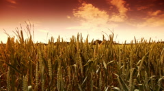 Fields of golden wheat corn at the countryside Stock Footage