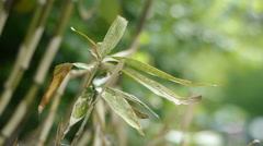 Bamboo leafs - stock footage