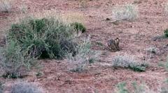 Wild Rabbit - stock footage