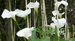 Zantedeschia, Calla or Lily Stock Footage