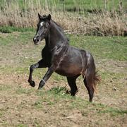 Young andalusian stallion running Stock Photos