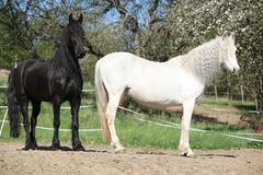 White andalusian horse with black friesian horse - stock photo