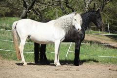 White andalusian horse with black friesian horse Stock Photos