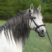 Beautiful andalusian stallion in spring Stock Photos